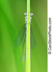 Grass halm with eyes - Funny macro image of a damselfly...
