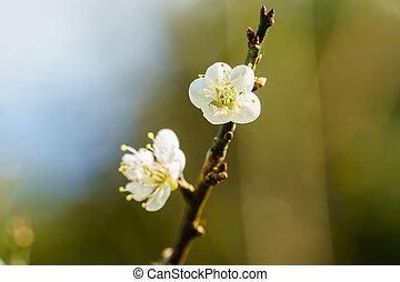 White apricot blossom flower - White apricot flower blossom...