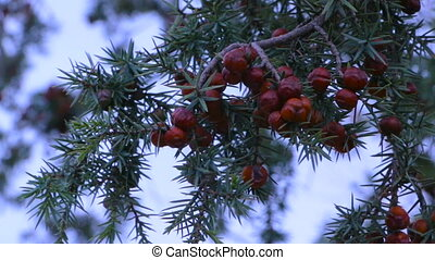 Juniper crimea - Juniper closeup with red berries. The sprig...