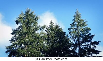 Trees Moving Around In Strong Winds - Large trees swaying in...