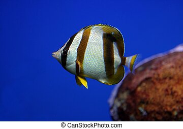 Tropical Fish - Tropical fish swimming in an aquarium with...