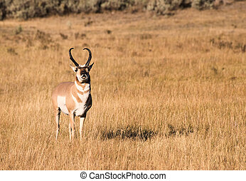 Pronghorn in golden light