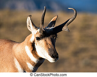 Pronghorn on golden light