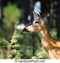 White Tail in Woods