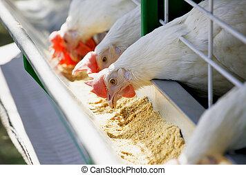 White chicken feed