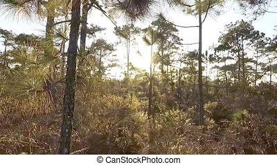 walk in pine forest at sunset