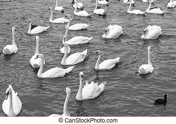 White swans swimming in lake. Beautiful natural view with...
