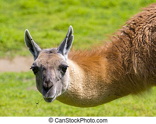Guanaco Portrait in Spring - Head of a guanaco - Lama...