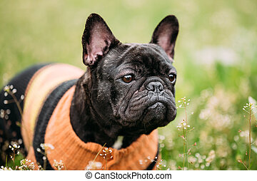 Young Black French Bulldog Dog In Green Grass, In Park...
