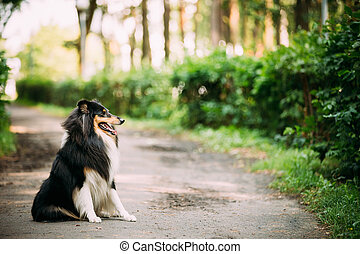 Scottish Rough Long-Haired Collie Lassie Adult Dog Sitting...