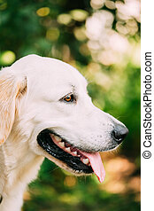 Yellow Golden Labrador Retriever Dog, Portrait Of Head Muzzle.