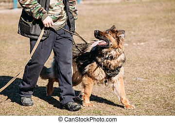 German Shepherd On Obedience Dog Training. Alsatian Wolf...