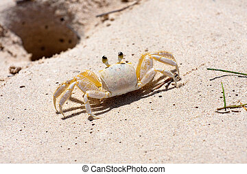 Tropical Crab - A tropical yellow Caribbean crab standing...