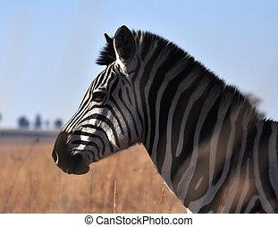 Burchell's Zebra in Africa - A Burchells Zebra (Equus quagga...