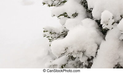 Boxwood shrubs under the snow, close-up.