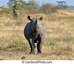 Africa Big Five: Black Rhinoceros - A Black Rhinoceros in...