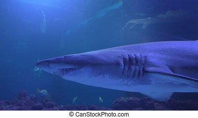 Shark behind glass - Shark in aquarium lit by blue light...