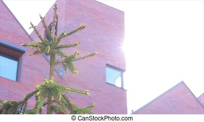 Building and spruce. Sun glare. Close up.