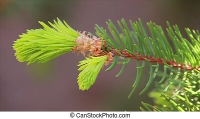 Young pine tree branch on brown background. Close up.