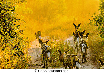 Wild Dogs at Dawn - Pack of wild dogs starting out on an...