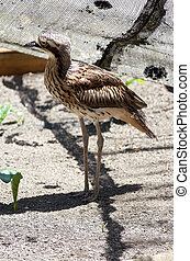 Bush Stone Curlew Profile - full length profile of bush...
