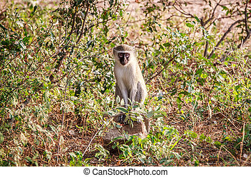 Vervet monkey sitting on a rock. - Vervet monkey sitting on...