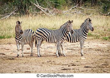 Three starring Zebras. - Three starring Zebras in the Kruger...