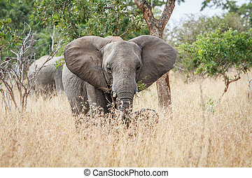 Elephant starring at the camera. - Elephant starring the...