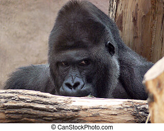 Gorilla Staring Over Branch