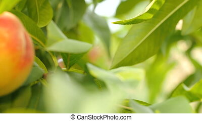 Ripe peaches on tree - Camera moves along branch with green...