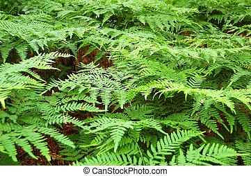 Fern bracken leaves - Green bracken lush fern growing in...