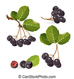 Branches of aronia with green leaves on white. Chokeberries...