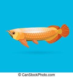 Isolated golden arowana. Freshwater bony fish bonytongues. -...