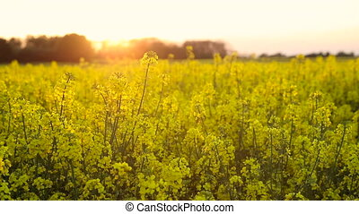 Rapeseed field at sunset or sunrise