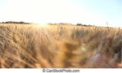 Tracking shot of wheat or barley field at sunset or sunrise