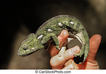 Chameleon on a human hand in Madagascar