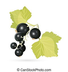 Blackcurrant with leaves isolated on white. Piquant berries...