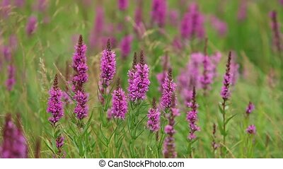 Purple flowers at meadow background - Purple Wild flowers at...