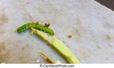 Caterpillar walking on a vegetable piece on a marble -...