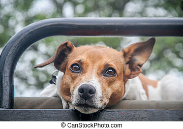 Jack russel starring at the camera. - Jack russel starring...