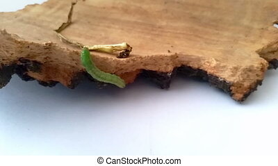 A green caterpillar climbs on a tree bark and walks over it