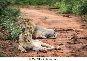 Two Lions laying in the road. - Two Lions laying in the road...
