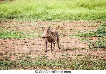 Warthog starring at the camera. - Warthog starring at the...