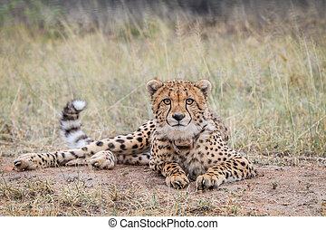 Cheetah starring at the camera. - Cheetah starring at the...