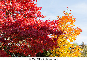 bold colors of deciduous trees in autumn - have intensely...