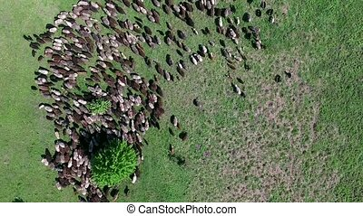 flock of sheep grazing on field - flock of sheep grazing on...