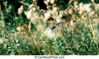 Dry common sowthistle flower with fluff - Beautiful dry...