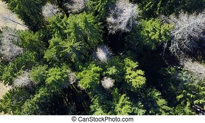 Spruce forest with a bird's eye view - Spruce mountain...