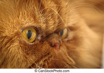 Cat's face - Muzzle red Persian cat close-up eyes, nose, fur