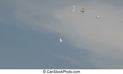 Flock of white decorative pigeons flying in clear blue sky....